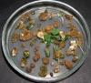 Рис.  2.  Селекція  та  регенерація  арахісу  на  селективному  середовищі  з  канаміцином  концентрації  100  мг/л