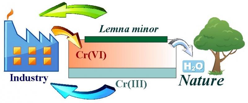 Зображення:Biotechnology for water purification from Cr(VI) by Lemna minor.jpg