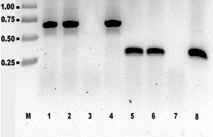 ПЛР-аналіз тотальної ДНК рослин цикорію (рис 12а Матвєєва автореферат).jpg