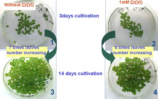 Duckweed cultivation in the presence of Cr(VI).jpg